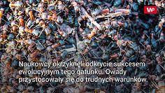 Mrówki kanibale wydostały się z atomowego bunkra