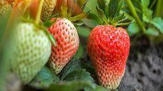 Niedojrzałe truskawki. Zobacz, czy można je jeść