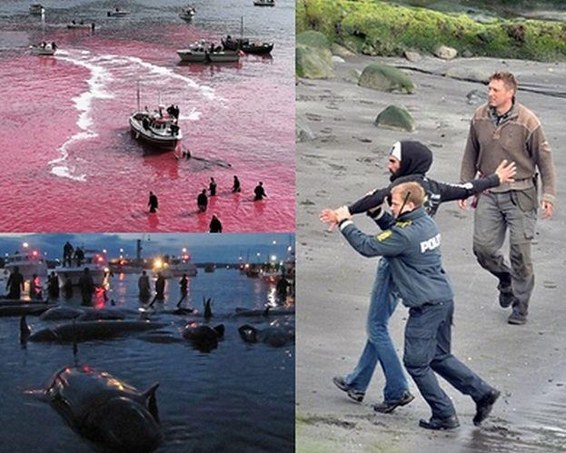 Kolejna rzeź delfinów na Wyspach Owczych! (Uwaga: DRASTYCZNE ZDJĘCIA)