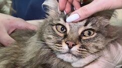 Szczepionka przeciwko COVID-19 dla zwierząt. Jeden z pierwszych kotów zaszczepiony