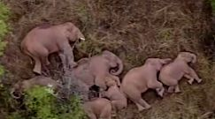 Stado słoni, o których mówi o nich cały świat. Zobacz nagranie z Chin