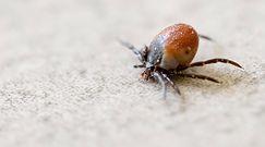Najbardziej niebezpieczne owady. To one najczęściej gryzą latem i mogą przenosić wirusy