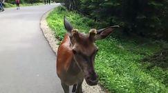 Spotkanie z dzikimi zwierzętami na tatrzańskim szlaku. Ważny apel leśniczego z Morskiego Oka