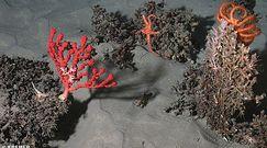 Nowe gatunki atlantyckiej fauny. Pięcioletni projekt badawczy z niesamowitymi wynikami