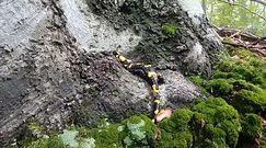 Opalająca się salamandra. Ciekawe nagranie z Bieszczad