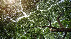 Wszystko dzieje się w koronach drzew. Niebywałe zjawisko, które można zobaczyć w lesie