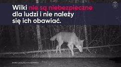 Wilki w Kampinosie