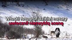 Stado wilków otoczyło konia. Niecodzienne nagranie miłośników dzikiej natury