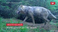 Wilki wróciły do Holandii. Rolnicy obawiają się ataków