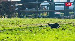 Sekretne życie kotów. Wyniki obserwacji naukowców