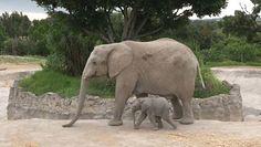 Słonie afrykańskie. Dwa maluchy zagrożonego gatunku urodziły się w zoo w Meksyku