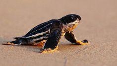 Koronawirus a natura. Rekordowa ilość żółwi w Tajlandii