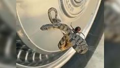 Czarna wdowa kontra wąż. Zaskakujące nagranie po finale pojedynku