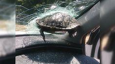Żółw wbił się w szybę. O krok od tragedii