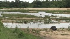 Bawoły w niebezpieczeństwie. Niezwykłe nagranie z Parku Krugera