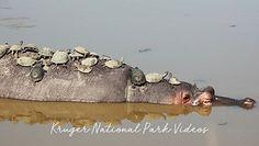 Opalanie na hipopotamie