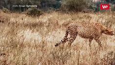 Ukradli gepardowi kolację. Zaskakujące wideo z Parku Narodowego Krugera