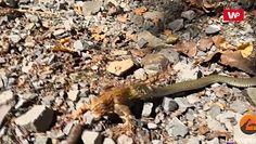 Wąż konta żaba. Niecodzienne nagranie z Beskidów