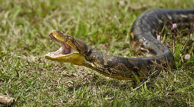 """Niebezpieczne zwierzęta na wolności. """"W jej stronę pełzł czterometrowy wąż"""""""