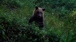 Niedźwiedź w czereśniach. Nagranie Nadleśnictwa Baligród