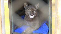 Niespodziewana wizyta dzikiej kocicy