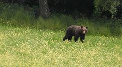 Baligrodzkie niedźwiedzie na spacerze. Niezwykłe nagranie
