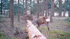 Wielki skok sarny. Zabawne nagranie leśników z Borów Tucholskich