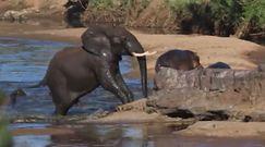Słoń zaatakował hipopotama. Niezwykłe nagranie z safari