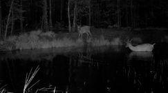 Nocne igraszki jeleni w lesie. Nagranie Nadleśnictwa Biłgoraj