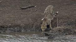 Zabójczy atak krokodyla. Niebywałe nagranie z safari