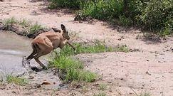 Impala kontra krokodyl. Zaskakujące nagranie z safari