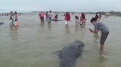 Dziesiątki grindwali wyrzuconych na plażę. Dramatyczne nagranie z Indonezji