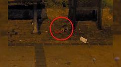 Plaga szczurów w centrum Częstochowy. Zaniepokojeni mieszkańcy publikują nagranie