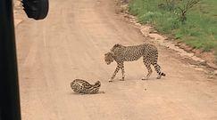 Serwal kontra gepardy. Niezwykłe nagranie z Afryki