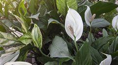 Skrzydłokwiat. Uprawa i pielęgnacja tej pięknej rośliny doniczkowej