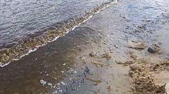 Sinice nad Bałtykiem. Nagranie świadka z Sopotu