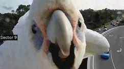 Dzika papuga w Australii. Zasłoniła kamerę na autostradzie, wdzięczyła się do obiektywu