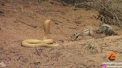 Wiewiórka naziemna kontra kobra