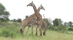 Walka żyraf. Zaskakujące nagranie z RPA