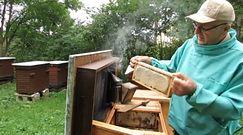 Tradycyjne miodobranie w Bieszczadach. Nagranie z pasieki cenionego pszczelarza