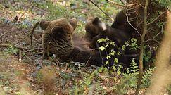 Rodzina niedźwiedzi. Niezwykłe nagranie z Bieszczad