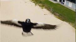 Agresywna sroka w akcji. Ptak zaatakował drona