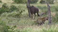 Afryka. Mrożące krew w żyłach nagranie z safari