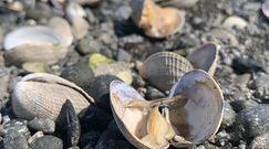 Skorupiaki ugotowały się żywcem na plaży. Fala upałów w Kanadzie