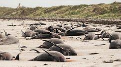100 martwych delfinów na plaży. Dawno nie widziano czegoś takiego