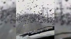 Gigantyczne stado ptaków w Turcji. Czegoś takiego kierowcy nie widzieli