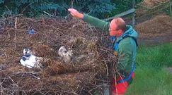 Nawałnica zniszczyła gniazdo bocianów. Nagranie z interwencji na Dolnym Śląsku