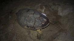 Samica żółwia złożyła jaja. Jest zagrożona wyginięciem