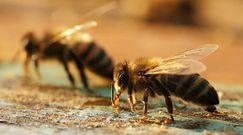 Jad pszczół leczy raka. Przełomowe odkrycie naukowców