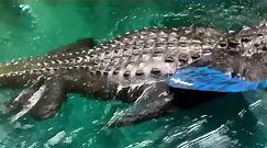 Bliskie spotkanie z aligatorem. Kobieta miała tylko wiosło